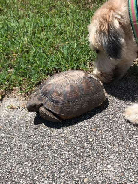 Dog sniffing a medium-sized turtle